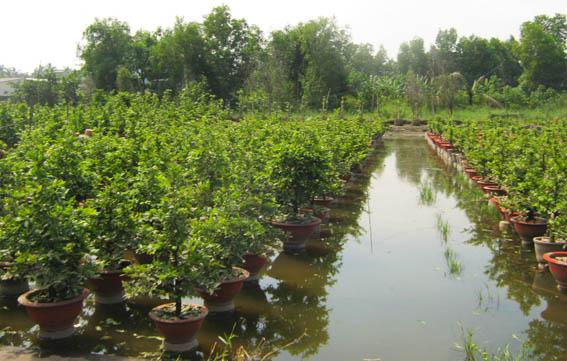 Lưu ý khi trồng mai Bonsai
