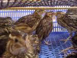 Huyện Đông Hoà (Phú Yên) Chim cút nuôi chết hàng loạt