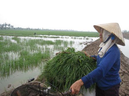 Thanh Hóa: Lúa mất trắng do đất nhiễm mặn