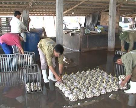 Thu hoạch và chuẩn bị xuất bán ngao thương phẩm.