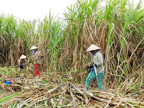 Nhiều nông dân trồng mía ở huyện Phụng Hiệp đang gặp khó khi giá mía đầu vụ thấp.