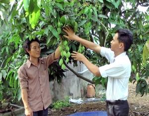 Anh Hoàng Khắc Định (trái), ở xã Xuân Tâm, trong vườn xoài lắp đặt tưới tiết kiệm sản xuất vụ nghịch bán tết.