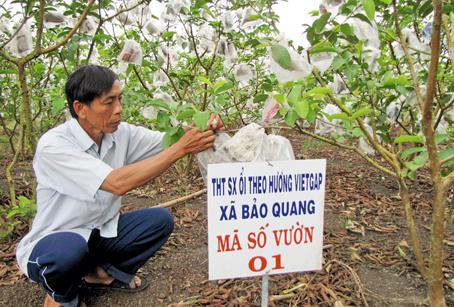 Ông Huỳnh Văn Hưng ở ấp Bàu Cối, xã Bảo Quang (TX. Long Khánh) chăm sóc vườn ổi sạch.