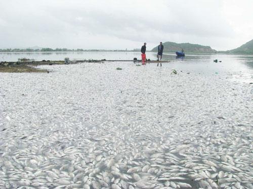 Cá chết trắng hồ Phú Hòa