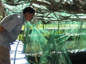 Cá giống khi mua về sẽ được chăm sóc riêng, đến khi thích nghi được với môi trường thì đưa ra ao nuôi