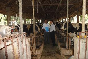 Chuồng nuôi bò sữa