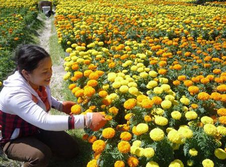 Hoa vạn thọ dễ trồng, không cần nhiều phân bón.