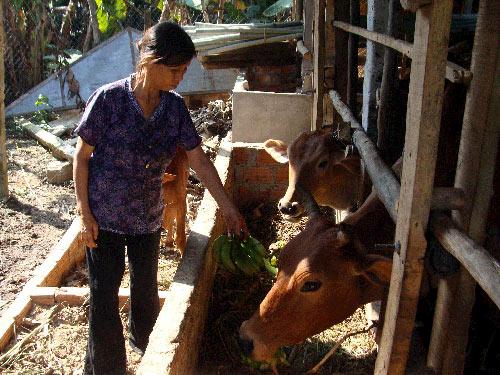 Không bán chuối được, người dân xã Tịnh Hà đem cho bò ăn