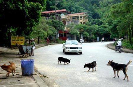 Nhiều địa phương vẫn phổ biến tình trạng thả rông chó