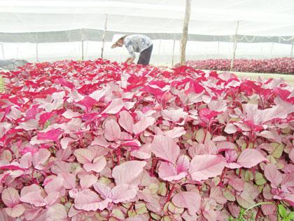 """VietGAP là cụm từ viết tắt của Vietnamese Good Agricultural Practices, nghĩa là """"Thực hành sản xuất nông nghiệp tốt ở Việt Nam"""", dựa trên bốn tiêu chí:"""