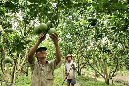Bưởi da xanh VietGAP luôn đem lại lợi nhuận cao cho các nhà vườn.