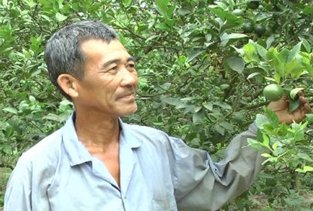Ông Trương Văn Thum ở xã Xuân Tâm (huyện Xuân Lộc) bên vườn quýt đã thu hoạch.