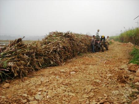 Người trồng mía ở vùng mía Lam Sơn (Thanh Hóa) đang thu hoạch mía.