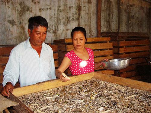 Vợ chồng ông Nguyễn Đức Hải và bà Trần Thị Lòng đang chăm sóc một khay quy giống