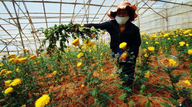 Bà Nguyễn Thanh Hoa (Trại Mát, P.11, Đà Lạt) nhổ bỏ hoa cúc trồng phục vụ tết