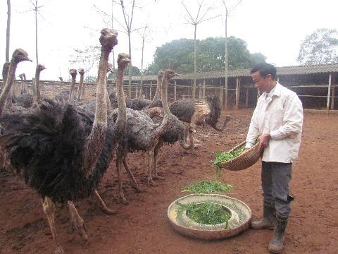 Anh Nguyễn Văn Trung chăm sóc đàn đà điểu