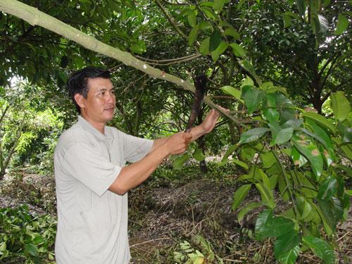 Ông Thành chăm sóc vườn măng cụt cho trái nghịch mùa