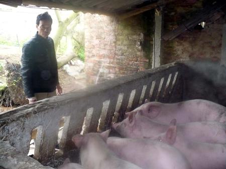 Dãy chuồng trại nuôi lợn của anh Thành.