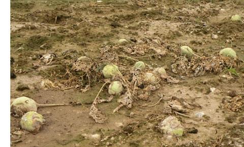 Giá rẻ, người dân không buồn thu hoạch vứt bỏ su hào đầy ruộng
