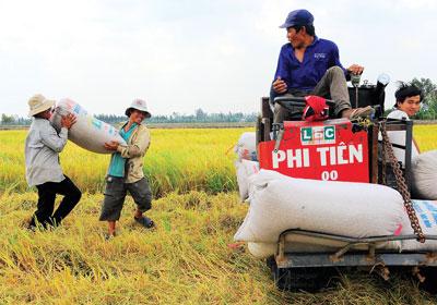 Máy gặt đập liên hợp lạc hậu nên bị... cải tiến thành máy cộ lúa.