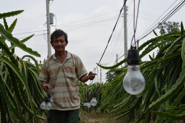 Nông dân ở huyện Chợ Gạo (Tiền Giang) quen sử dụng bóng đèn tròn để xông thanh long