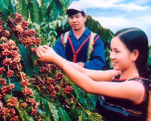 Thu hoạch cà phê tại Tây Nguyên