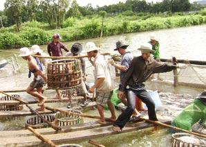 Thu hoạch cá tra ở quận Thốt Nốt, TP Cần Thơ.