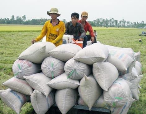 Giá lúa sụt giảm, nông dân ĐBSCL rất lo