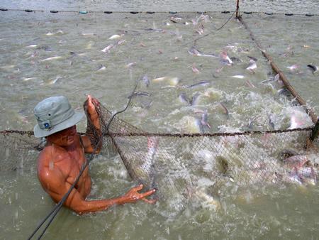 Mặc cho giá cá tra xuất khẩu tăng lên, giá cá trong nước