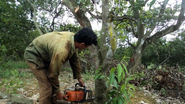Một người dân đốn bỏ cây điều để chuyển sang trồng cao su