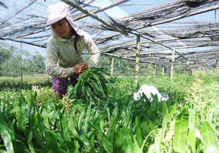 Ngò gai dễ trồng, lại cho thu nhập cao, là loại rau thoát nghèo ở nhiều tỉnh trên cả nước