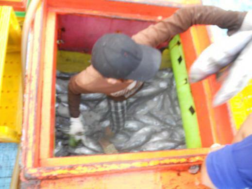 Ngư dân vận chuyển cá ngừ vằn khai thác được đưa đi tiêu thụ