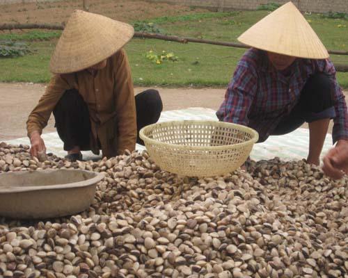 Nhiều hộ nuôi ngao ở vùng biển Thanh Hóa đang đứng ngồi không yên vì ngao giảm giá mạnh, trong khi vẫn còn hàng nghìn tấn nằm dưới cát chưa thu hoạch. Nếu tình trạng này kéo dài, có thể bà con sẽ bị thiệt hại tới hàng tỷ đồng.