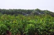 Tưới phun mưa cho cao su giống ở Chơn Thành