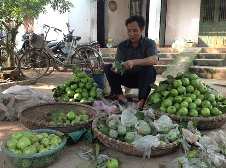 Ông Quảng phân loại ổi để bán