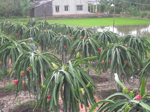 Một góc vườn thanh long ruột đỏ của ông Võ Văn Thạch.