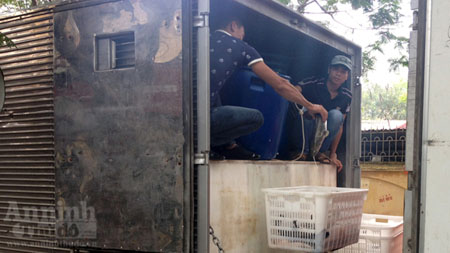 Một xe chở cá quả Trung Quốc lậu bị ngành chức năng Hà Nội bắt giữ ngày 5.5. ANTĐ