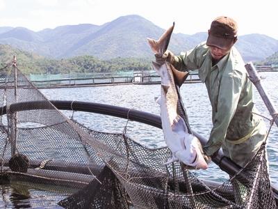 Người nuôi cá tầm trong nước khốn đốn vì cá TQ nhập lậu.