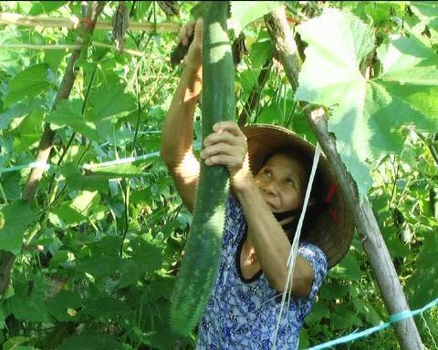 Bí xanh tre Việt