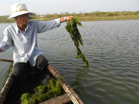 Ông Hà Xuân Vạch kiểm tra và thu nhặt số cá chết trong hồ nuôi của mình.