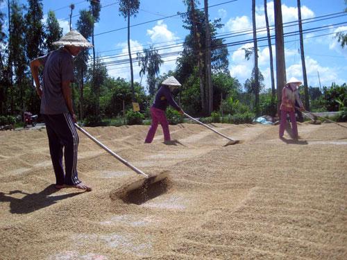 Đời sống của nông dân trồng lúa đang ngày càng khó khăn