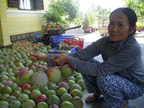 Gia đình bà Sa trồng xoài Úc vẫn thu nhập khá, ổn định