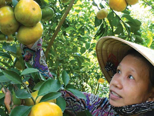 Người nông dân Lai Vung đã chuyển qua trồng cây ăn trái, thay vì trồng lúa.