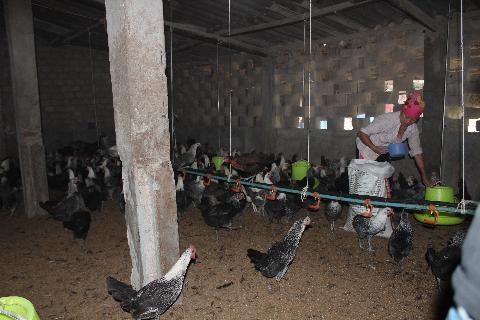 """Lã Tuấn Anh cho biết: """"Đây là giống gà dễ nuôi, ăn tạp và khỏe nên chóng lớn. Hơn 2 tháng tuổi đã đạt trọng lượng 2 - 2,5 kg/con, thịt thơm, ngon như thịt gà ta. Nhà mình tận dụng vườn chè để thả vì vậy gà tự đào bới kiếm thức ăn là chính, khả năng đề kháng của chúng rất cao"""".  Theo cách tính của Tuấn Anh cứ 1 con gà Ai Cập nuôi từ nhỏ đến khi xuất bán chỉ tốn khoảng 70.000 đ chi phí, bán được từ 100.000 - 120.000 đ. Thịt gà Ai Cập thơm ngon, có giá cao hơn gà phổ biến tại địa phương từ 20 - 25%.   Nhà nông chỉ cần nuôi 20 con gà Ai Cập đẻ trứng, mỗi tháng ít nhất cũng thu 1,2 - 1,5 triệu đồng. Nuôi vài trăm con thương phẩm và mái đẻ mỗi tháng thu 7 - 8 triệu đồng không khó. Loài gà này rất phù hợp với khí hậu ở Mộc Châu, chóng lớn, ít bệnh tật.  Trứng gà Ai Cập nhỏ nhưng lòng đỏ to, thơm ngon. Xuất bán ra thị trường giá dao động từ 3.000 - 5.000 đ/quả. Gà già bán cũng bán được 70.000 - 80.000 đ/con. Trừ đi các khoản chi phí, một tháng gia đình Tuấn Anh thu lãi hơn 20 triệu đ.  Hỏi về chăn nuôi lớn như vậy, song lâu nay dịch bệnh không có cơ hội bùng phát, Tuấn Anh chia sẻ: Gà con mới mua vẫn còn nhỏ, trong 1 tháng đầu phải dùng quây úm. Có thể dùng cót ép, tấm nhựa hoặc lưới sắt để quây, bên dưới rải trấu và thắp bóng điện để giữ ấm cho chúng, chú ý điều chỉnh nhiệt độ từ 30 - 35 độ C, trong 2 tuần đầu cho ăn tự do, sau đó ăn theo định lượng.  Xây chuồng trại phải chọn nơi cao ráo, đảm bảo giữ ấm về mùa đông, thoáng mát về mùa hè, cách xa khu dân cư sinh sống. Nền chuồng bằng bê tông, chất độn chuồng bằng trấu đã được rắc vôi và phun khử trùng, tiêu độc.  Khi đưa gà vào nuôi cần chuẩn bị vật chất kỹ thuật như lồng úm, chụp sưởi, máng ăn, chất độn chuồng... Thời điểm gà xuống chuồng nên để nhiệt độ giảm dần cho chúng thích nghi với nhiệt độ môi trường ngoài tự nhiên, phù hợp nuôi thả vườn. Thức ăn chủ yếu là cám tổng hợp, có thể trộn lẫn thức ăn với tinh bột ngũ cốc, rau xanh.  """"Nên bổ sung vào thức ăn một số chất như bột đá, vỏ sò để  tạo vỏ trứng, cho gà uống nước"""