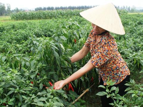 Trồng ớt xuất khẩu đang mang lại nguồn thu nhập khổng lồ cho người dân Hoằng Hóa