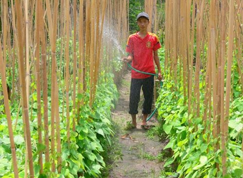 Tưới nước thường xuyên giúp lá mối phát triển tốt