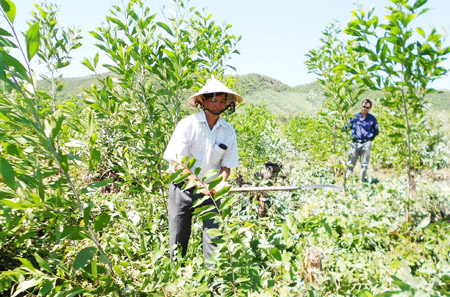 Ông Mẫn đang chăm sóc rừng trồng.