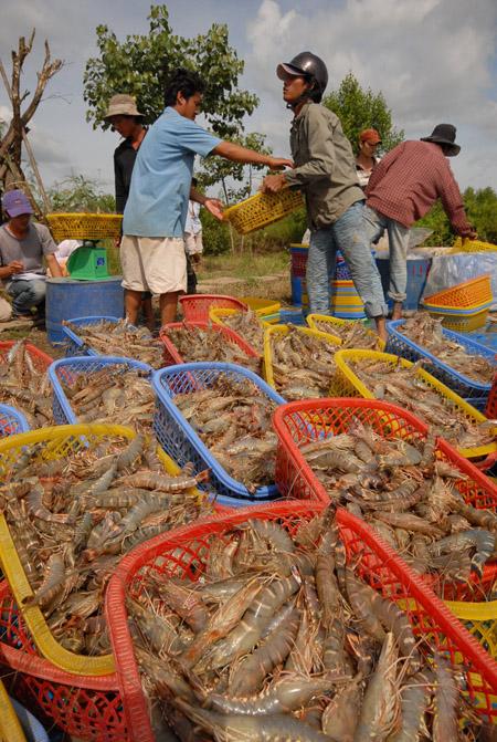 Nông dân lo lắng giá tôm giảm khi Mỹ áp thuế chống trợ cấp lên con tôm xuất khẩu của Việt Nam.