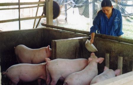 Nuôi lợn VietGAHP giúp người chăn nuôi giảm giá thành sản xuất