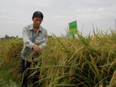 Giống lúa Hoa khôi 4 được chứng nhận bảo hộ cho năng suất 70-75 tạ/ha